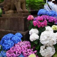 白山神社 あじさい祭り 2017