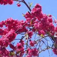 東京都薬草植物園でフジ、芍薬、ツツジ、ハナモモ、アヤメ、シラン、ミツマタ,