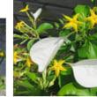 コンロンカ  別名「ハンカチの花」