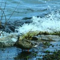 びわ湖の波