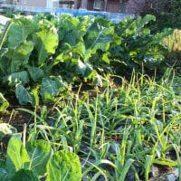 葉物野菜が育つ