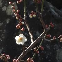 自宅の梅が咲いた
