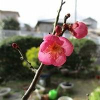 梅盆栽  開花