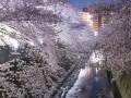 2017神田川の夜桜