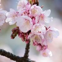 寒桜。。。。。