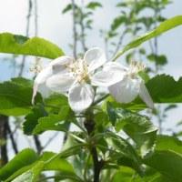 梅花ウツギと柿畑のアヤメ