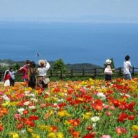 淡路島の「花さじき」はポピーが満開です。