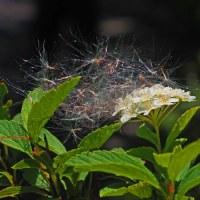 狂い咲きに綿毛