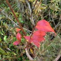 ◇鉢植えのブルーベリーが紅葉しています。