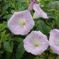 季節の花「昼顔(ひるがお)」
