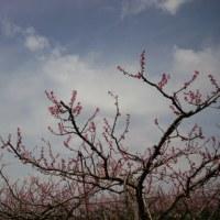 味宿きぬや 桃の花、満開です