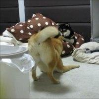 「お布団大好き、柴犬ゆず&りょう!」 動画