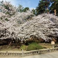 桜古木銘木(さくらまつり29)