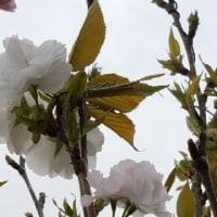 ウミネコ桜 4.27