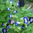 スズカケソウと紫の花たち