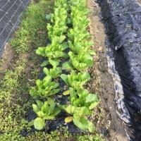 お多福豆の植付け