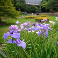 春日公園・花菖蒲