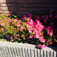 めっちゃ、かたまって咲いてる。