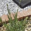 可愛いラベンダーちゃんたち♪ 直植え後の画像でございます。