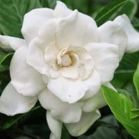 八重のクチナシの花