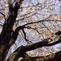花見2017春