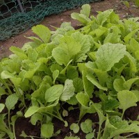 菜花の植え付け