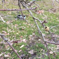 りんごの小枝に小さな巣をみつけました