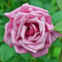 バラ 「紫雲」