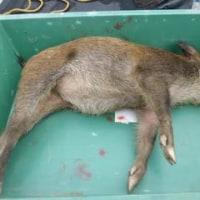 9月4日有害鳥獣捕獲「猪」