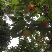 気が付く柿の色