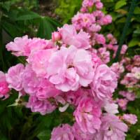 ボウボウと咲いたミニ薔薇