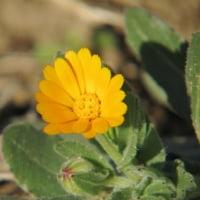 寒い冬に咲く貴重な花、フユシラズです