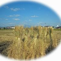 稲刈り始まりました・・・れんこん入りミートローフ。