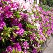 松戸市の花・つつじ