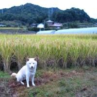 今朝の風景(田んぼ)