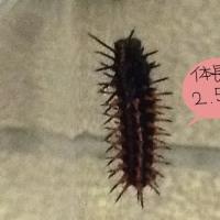 ツマグロヒョウモン蛹と幼虫。10/22