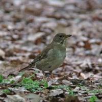 今日の鳥見・マミジロ♀ etc@お城