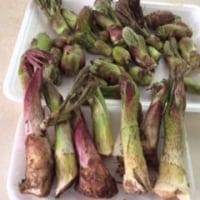 今年最初の山菜