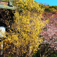 『大磯の桜』 金龍寺