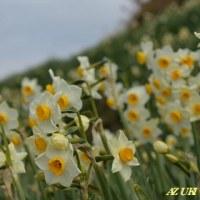 水仙の咲く頃 2 ~千早赤坂村の「スイセンの丘」
