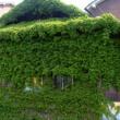 蔦の絡まる家