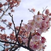 南房総ドライブ2017♪ (桜と菜の花畑と濃溝の滝)