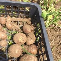 里芋の種イモを植えました