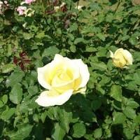 最後の薔薇撮り