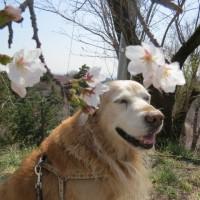 桜咲きました♪