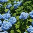 新庄市の花 紫陽花
