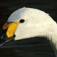 白鳥のメディスン