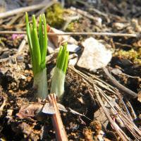 17-03-22 春咲き球根