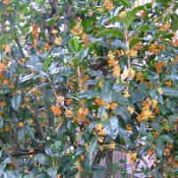 秋の香り【モクセイたちとやぶらん二種】