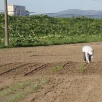 豆・トウキビ植え